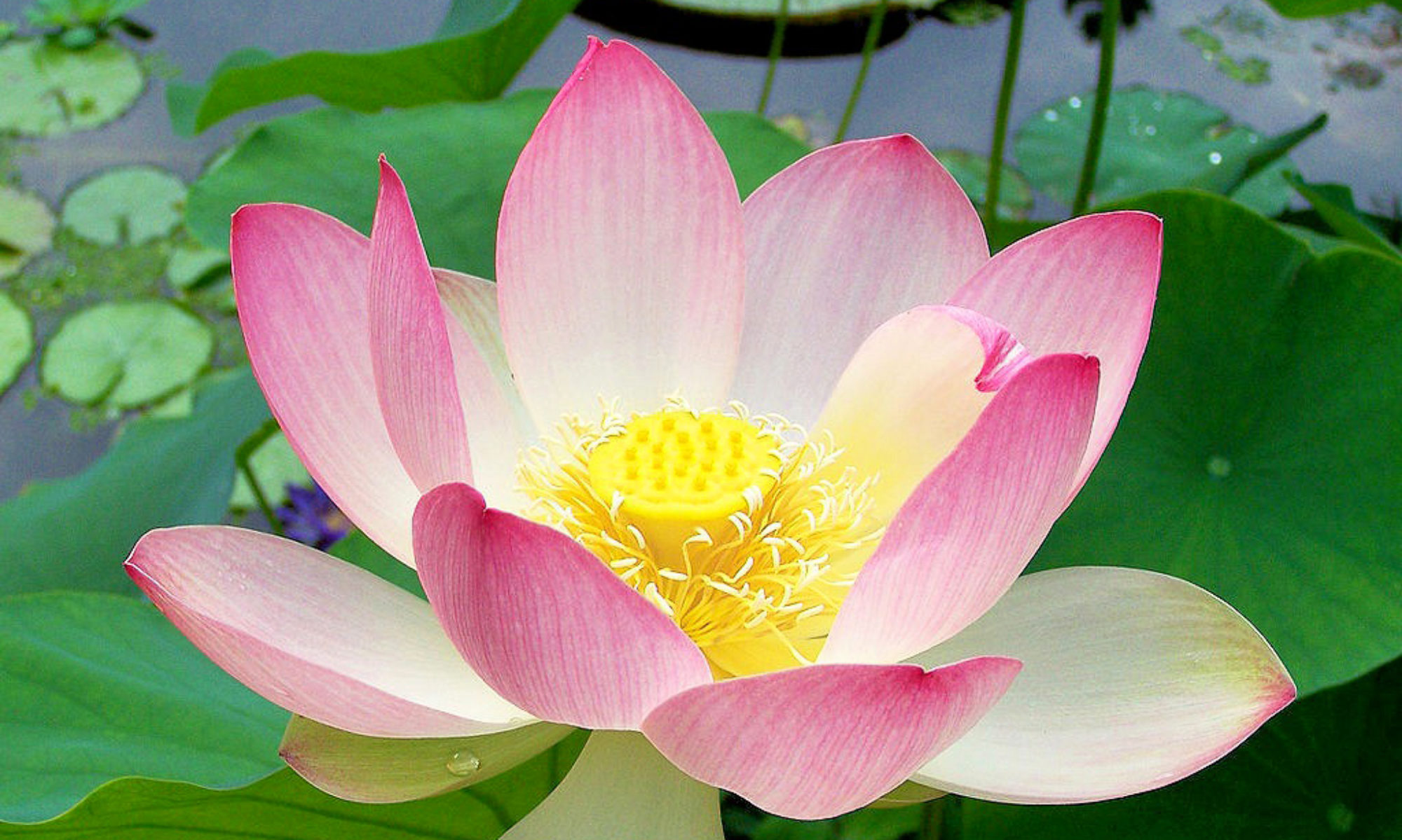 Largest Lotus Collection in Hawaii